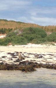 Australian Marine Seals